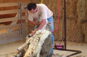 x274_53f4-tonte-des-moutons-.jpg